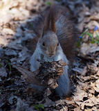 Red squirrel sitting and eating something at park and looking at Stock Photography