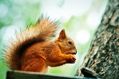 Red squirrel sitting on feeder and eating nut Royalty Free Stock Images
