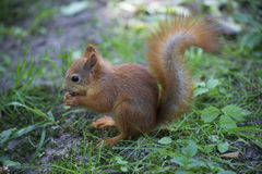 Red squirrel sitting on the grass Stock Photos