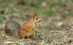 Red squirrel. Sitting on the grass and looking away Royalty Free Stock Photo