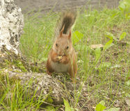 Red squirrel sitting Stock Image
