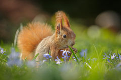 Red Squirrel Sitting In Spring Flowers Royalty Free Stock Photos