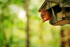 Red squirrel sitting inside feeder and eating nut in park Royalty Free Stock Photography
