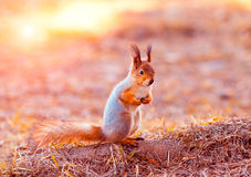 Red squirrel sitting on its hind legs. Beuty red squirrel sitting on its hind legs royalty free stock image