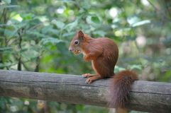 Red squirrel. Sitting on a log Royalty Free Stock Photos