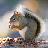 Red Squirrel sitting on log, feeding seeds from pine cone. Stock Photography