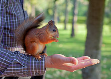 Red squirrel  sitting  on the man's  hand Stock Photos