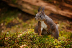 Red squirrel sitting on moss Royalty Free Stock Image