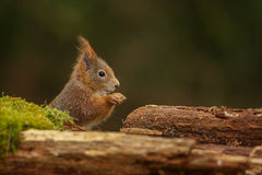 Red squirrel sitting on a mossy log Stock Photos