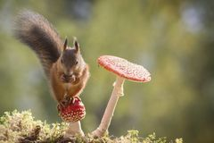 Red squirrel  sitting on mushroom Stock Photo