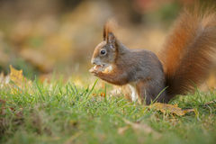 A red squirrel sitting Royalty Free Stock Images