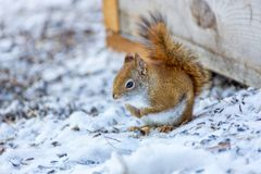 Red Squirrel sitting in the snow royalty free stock photo