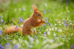 Red squirrel sitting spring flowers