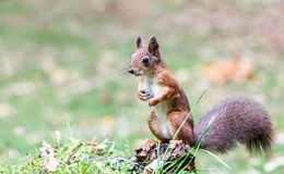 Red squirrel sitting on stump of tree in forest on blurred green Royalty Free Stock Photo
