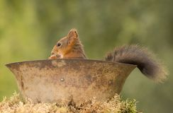 Squirrel sitting with tail out a helmet. Red squirrel sitting with tail out a helmet Stock Photography