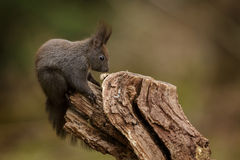 Red squirrel sitting on a textured log stock images