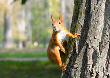 Red squirrel sitting on the tree Royalty Free Stock Image