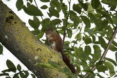Red squirrel sitting in a tree Stock Photos