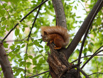 Red squirrel sitting on a tree Stock Photography