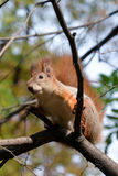 Red squirrel sitting on a tree branch Royalty Free Stock Photography