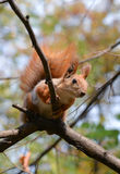 Red squirrel sitting on a tree branch Stock Images