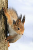 Red squirrel sitting on a tree Stock Photos