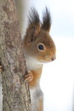 Red squirrel sitting on a tree Royalty Free Stock Photos