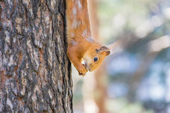 Red squirrel sitting on the tree and eats Royalty Free Stock Photography
