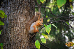 Red squirrel sitting on the tree Stock Image