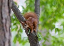 Red squirrel sitting on a tree Royalty Free Stock Images