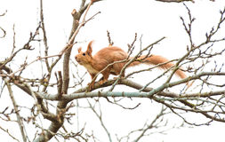 Red squirrel sitting on a tree.Nibbles the branches of trees. Red squirrel nibbles the branches of trees royalty free stock photography