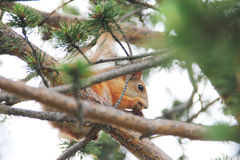 Red squirrel sitting on the tree Stock Images