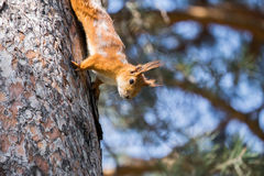 Red squirrel sitting on the tree Stock Photo