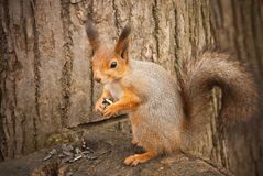 A red squirrel Stock Image
