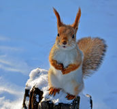 Red squirrel sitting on a tree stump Royalty Free Stock Image