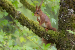 Red squirrel sitting in a tree. Royalty Free Stock Photography
