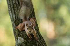 Red squirrel. Sitting on a tree and watching Stock Image