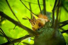 Red squirrel sitting on the tree Royalty Free Stock Images