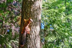 Red squirrel sitting on the trunk of a tree. In the background, the trees are illuminated by the sun. stock photos