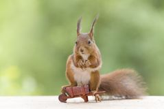 Red squirrel is sitting on an wheelbarrow Stock Photo