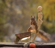 Squirrel sitting on wheelbarrow with a skeleton Royalty Free Stock Image