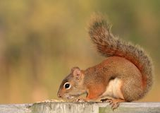 Red Squirrel Smelling Seeds Stock Photo