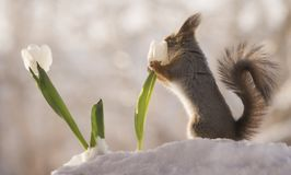 Red squirrel smelling a white tulip in the snow. Red squirrel is smelling a white tulip in the snow Royalty Free Stock Image