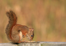 Red Squirrel Sniffing Food royalty free stock photo