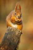Red squirrel sniffing a hazel nut Stock Photos