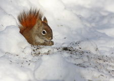 Red squirrel and snow Stock Photo