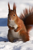 Red squirrel on snow Stock Photo
