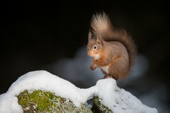 Red Squirrel in Snow. Red Squirrel on drystone wall Stock Photography