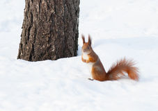 Red squirrel on the snow Royalty Free Stock Photo