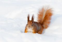 Red squirrel on the snow Stock Images